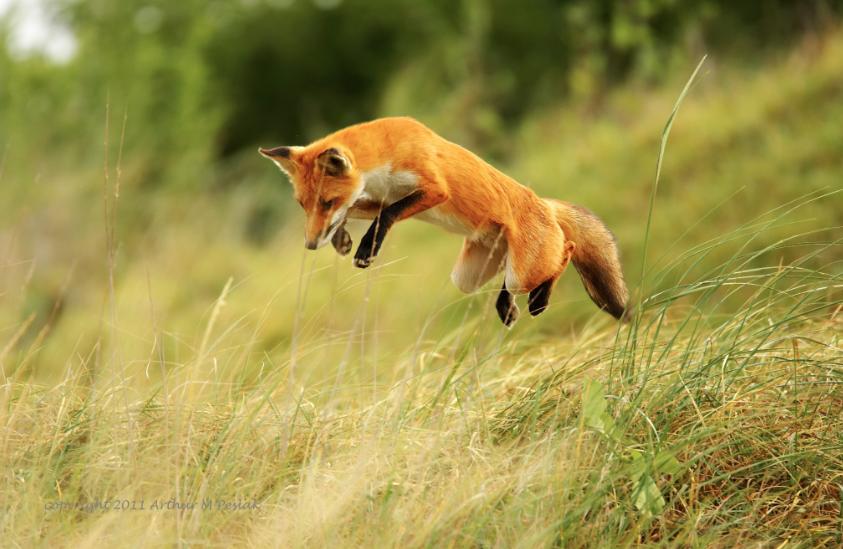 Arthur Peslak fox